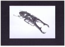 Kunstdruck Prosopocoilus giraffa
