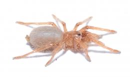 Citharischius crawshayi m