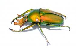 Taurhina longiceps Larven