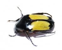 Pedinorrhina sellata
