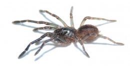 Thrigmopoeus psychedelicus s