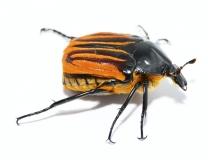 Trichaulax macleayi