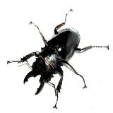 Odontolabis bellicosa Larve
