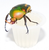 Beetle Jelly HP Pfirsich