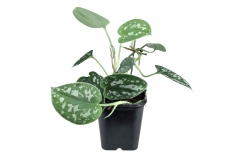 Philodendron spec. SILVER