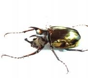 Chalcosoma atlas Männchen