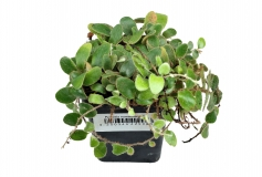 Pyrrosia piloselloides auf Xaxim