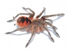 Pamphobeteus sp. ESMERALDAS m/l
