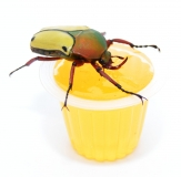 Beetle Jelly HP Orange 15er Pack
