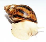Achatina achatina ALBINO m