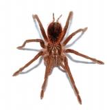 Pamphobeteus nigricolor L