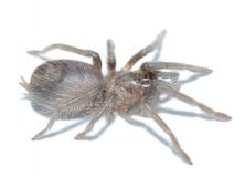 Phormictopus auratus s