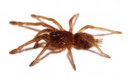 Chilobrachys fimbriatus s
