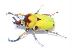 Compsocephalus dmitriewi