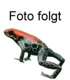 Holothele longipes L
