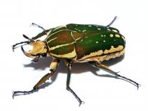 Mecynorrhina polyphemus confluens