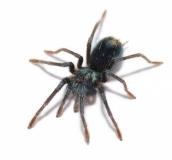 Phormictopus spec. SALINAS
