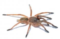 Chilobrachys guangxiensis m