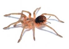 Pamphobeteus spec. COLOMBIA 6