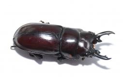 Prosopocoilus torresensis flavoguttatus