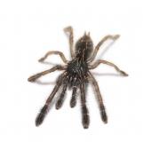 Phormingochilus rufus sm