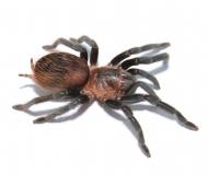 Brachypelma sabulosum m