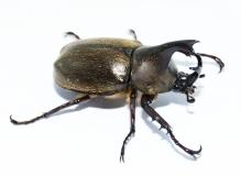 Xylotrupes pubescens Männchen