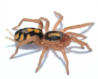 Hapalopus formosus (kleine Form) s