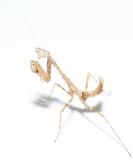 Deroplatys trigonodera