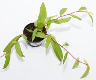 Begonia polygonioides