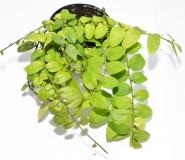 Solanum spec. GREEN