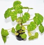 Begonia mazae var. Viridis