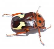 Anisorrhina flavomaculata Larven