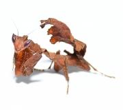 Acanthops erosula