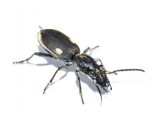 Graphiterus trilineatus RSA