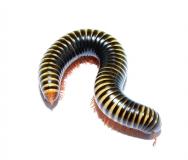 Millipede spec. 16 RSA