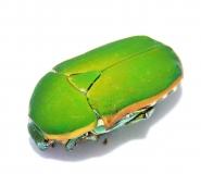 Pachnodella marginella