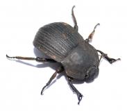 Tenebroidae 3 RSA