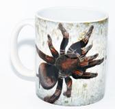 Kaffeebecher Pamphobeteus spec. MACHALA