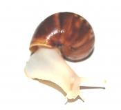 Achatina fulica WHITE JADE