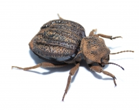 Tenebroidae spec. 1 RSA