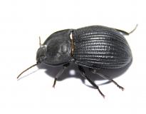 Tenebroidae spec. 2 RSA