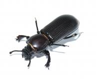 Passalidae spec. RSA