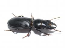 Pachyodontus spec. RSA