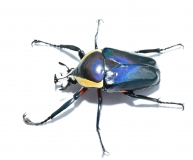 Dicronorhina derbyana conradsi BLUE Imago