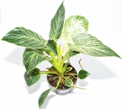 Philodendron f. dom. BIRKIN