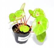 Begonia conchifolia