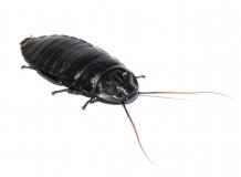 Gromphadorrhina portentosa BLACK