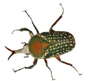 Mecynorrhina harrisi eximia