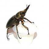 Beetle Jelly HP Lactic Acid 350er Karton